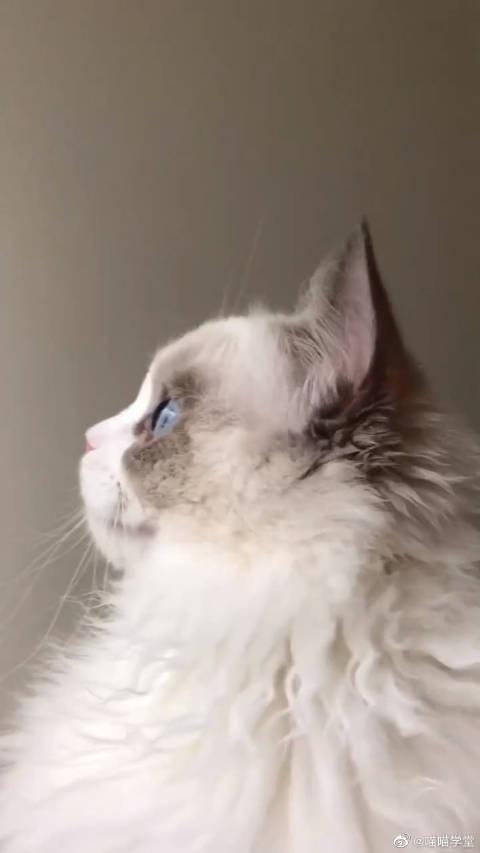 布偶猫:你能看出我的忧伤吗仔细看我的眼睛!