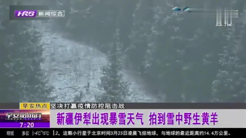 珍贵影像!新疆伊犁出现暴雪天气,摄影爱好者意外拍到雪中野生黄羊