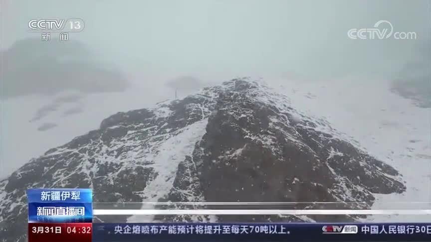 昭苏出现暴雪天气摄影爱好者拍到野生黄羊