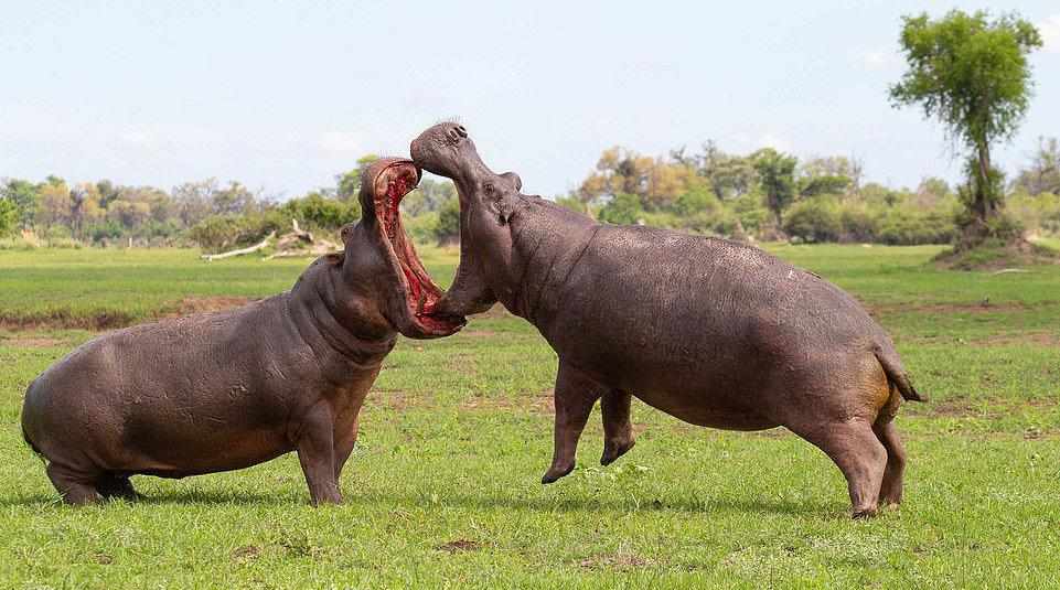 博茨瓦纳两河马为争领地展开搏斗,全程嘴对嘴互相锁定