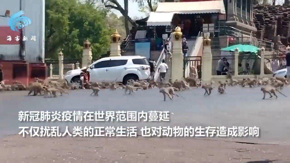 由于疫情影响,泰国游客大减,猴群失去了食物来源,纷纷冲上街头
