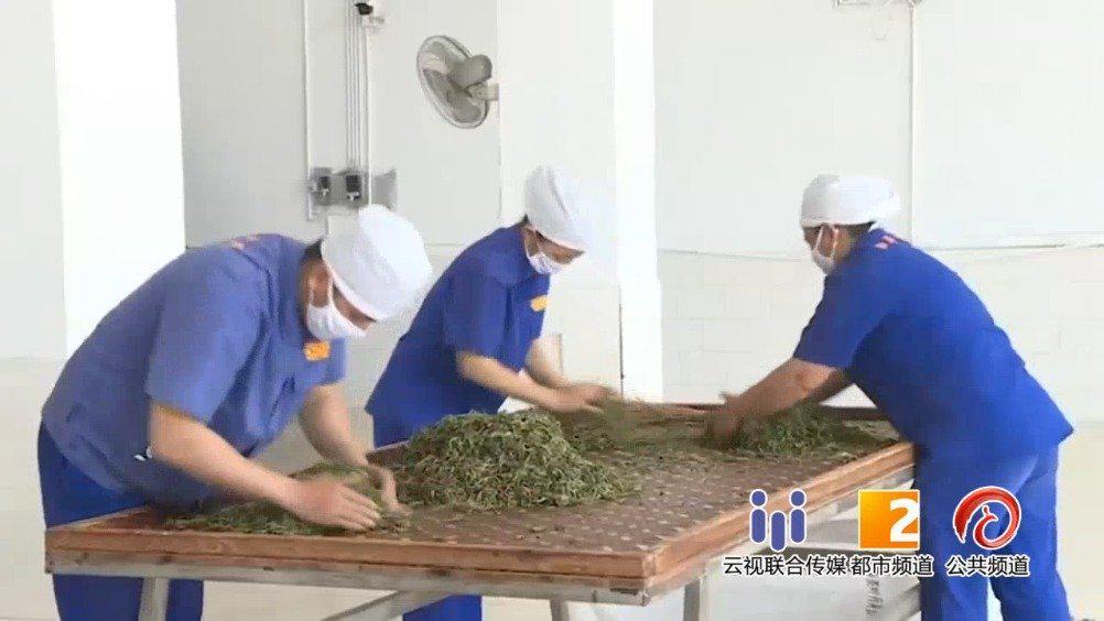 临沧勐库镇春茶炒制