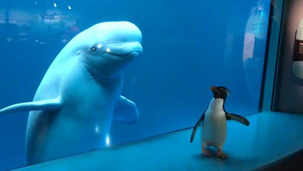 非知名网红谢德水族馆又双叒叕放企鹅出来了!