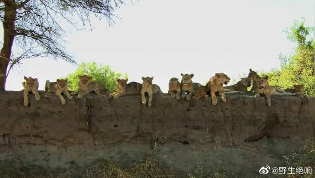 狮群精疲力尽亟需给养,母狮孤注一掷捕杀水牛,它能成功吗?