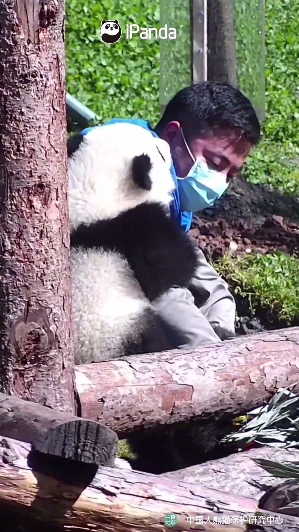 大熊猫饲养员的烦恼:两只熊宝都很可爱