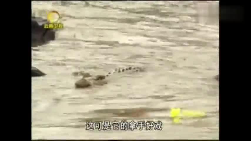 穷凶极鳄10:河马体重超过3吨,它牙齿锋利,能把鳄鱼分成两半
