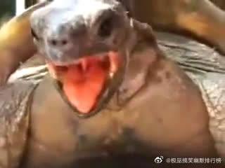 在?进来听陆龟交配时的声音