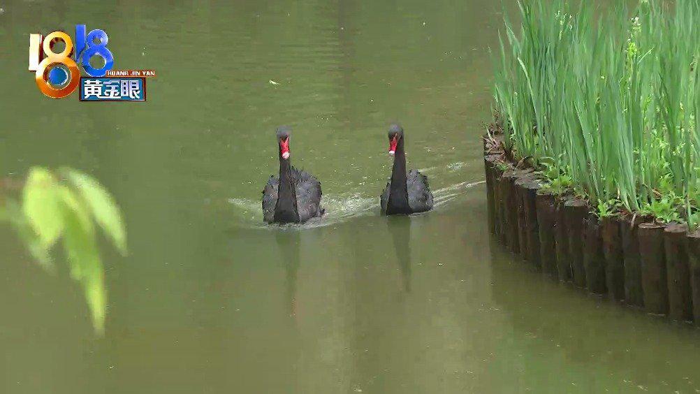 小区黑天鹅成群带来快乐又有几分隐忧