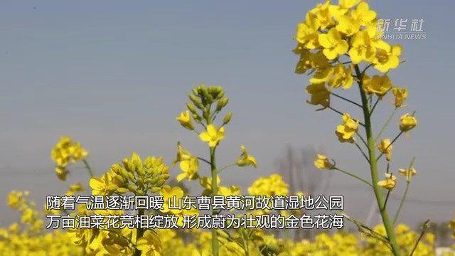 齐心鲁力 黄河故道换春装万亩油菜一抹黄