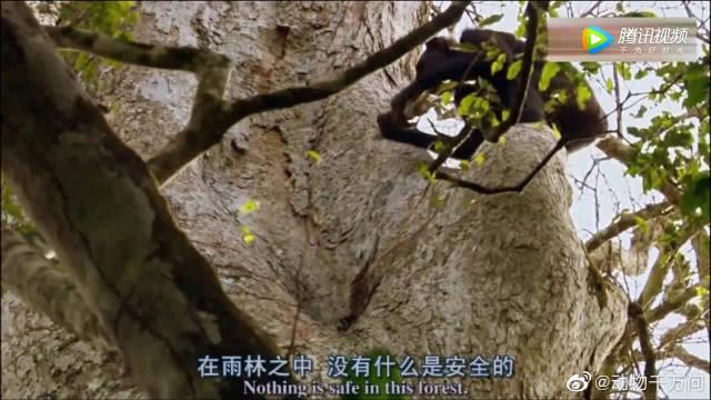 黑猩猩爬上树捅蜂窝,比人还聪明,小猩猩竟然边看边掏蜂蜜!