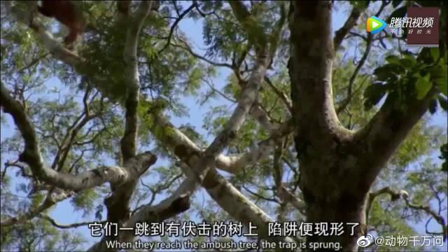 黑猩猩捕猎猴子,同伴来迟没分到肉急得摇树、跺脚发脾气,太逗了