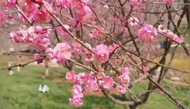 大连旅顺樱花园开园啦!