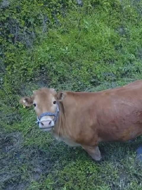 老黄牛第一次见无人机,一脸懵逼的眼神,好萌!