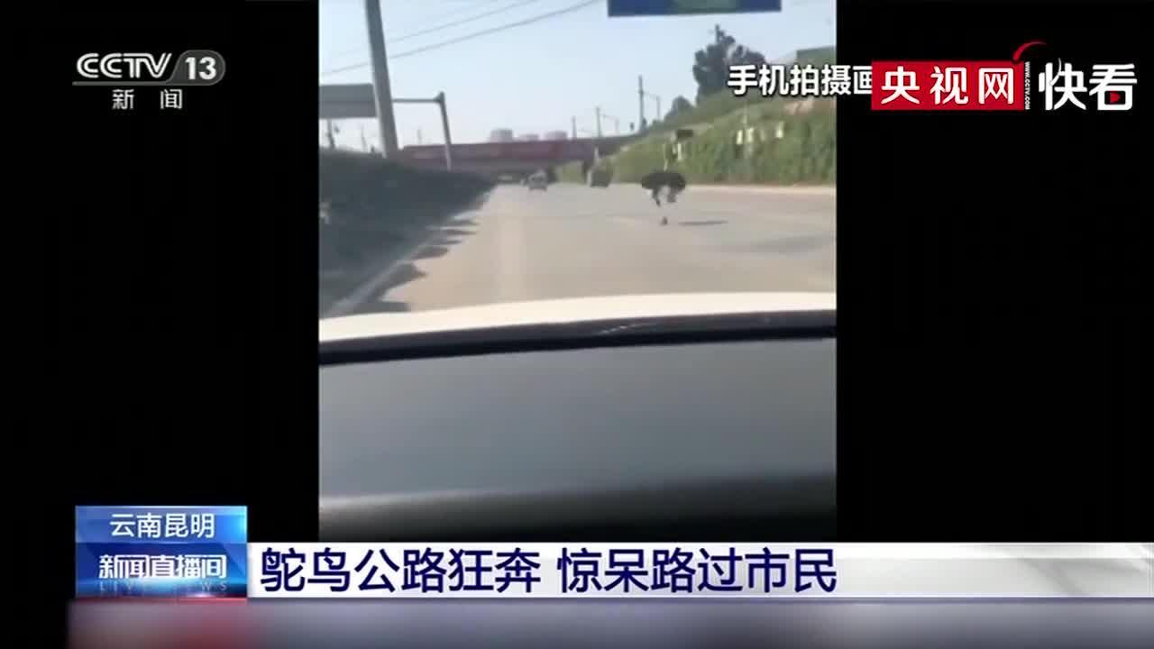 鸵鸟公路狂奔 惊呆路过市民
