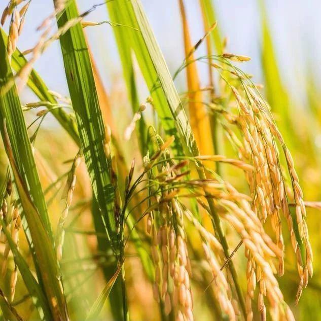 2020年黑龙江省高标准春整地和播种作业技术指导意见—水田整地
