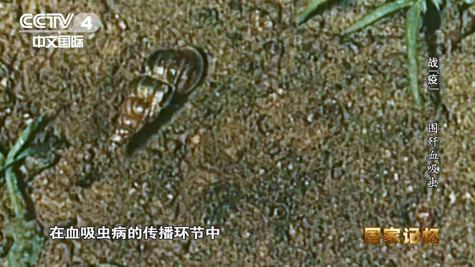 钉螺是血吸虫的中间宿主,一对钉螺一年竟能繁殖25万只!