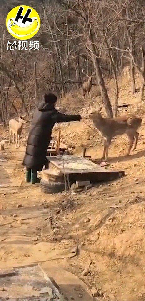 你的城市只能喂猫喂狗,我们大连山上可以喂鹿