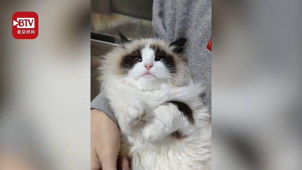 猫坚强!布偶猫靠一袋猫粮一桶水独居50天被社区干部救出