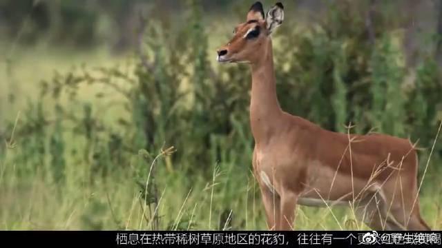 花豹抓了羚羊当教具,小豹利用它上蹿下跳苦练功。这就是丛林法则~
