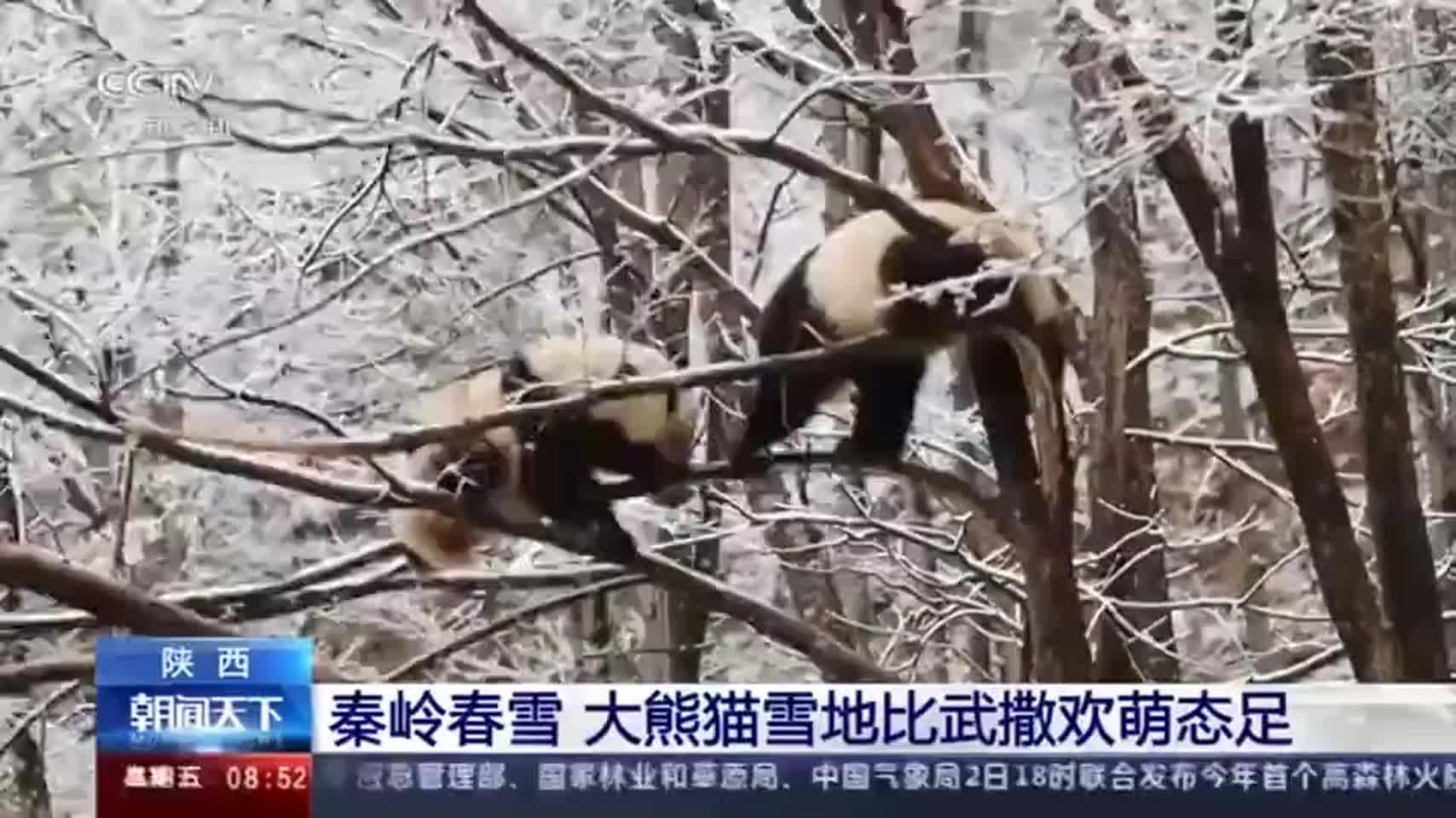 秦岭看雪 大熊猫雪地比武撒欢萌态足