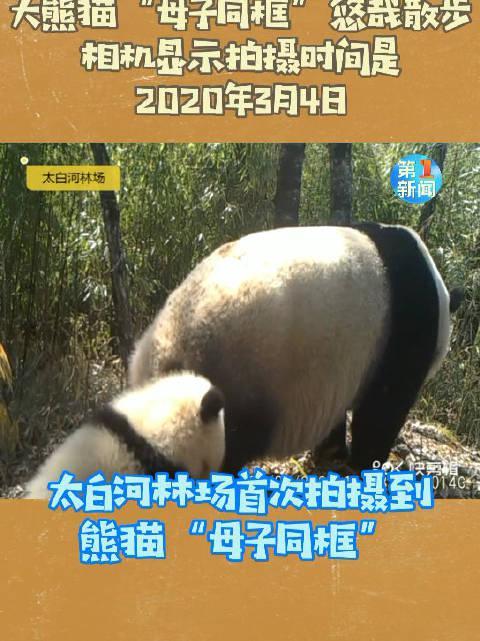 宝鸡太白河林场首次拍到大熊猫母子春日同游