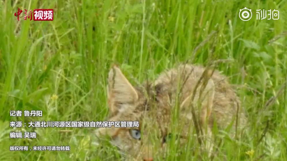 1月7日,西宁首次捕捉到国家一级保护动物雪豹的踪迹