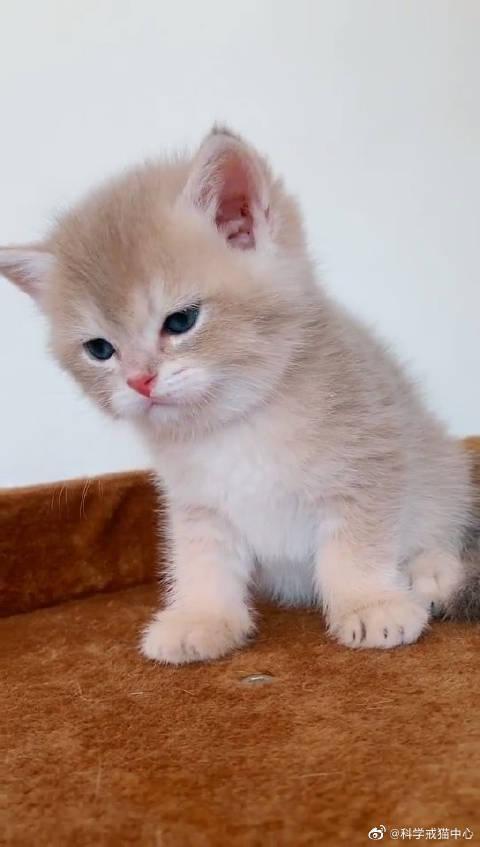 小猫咪听到主人拿链子的声音,害怕的卖萌,求求不要绑着我
