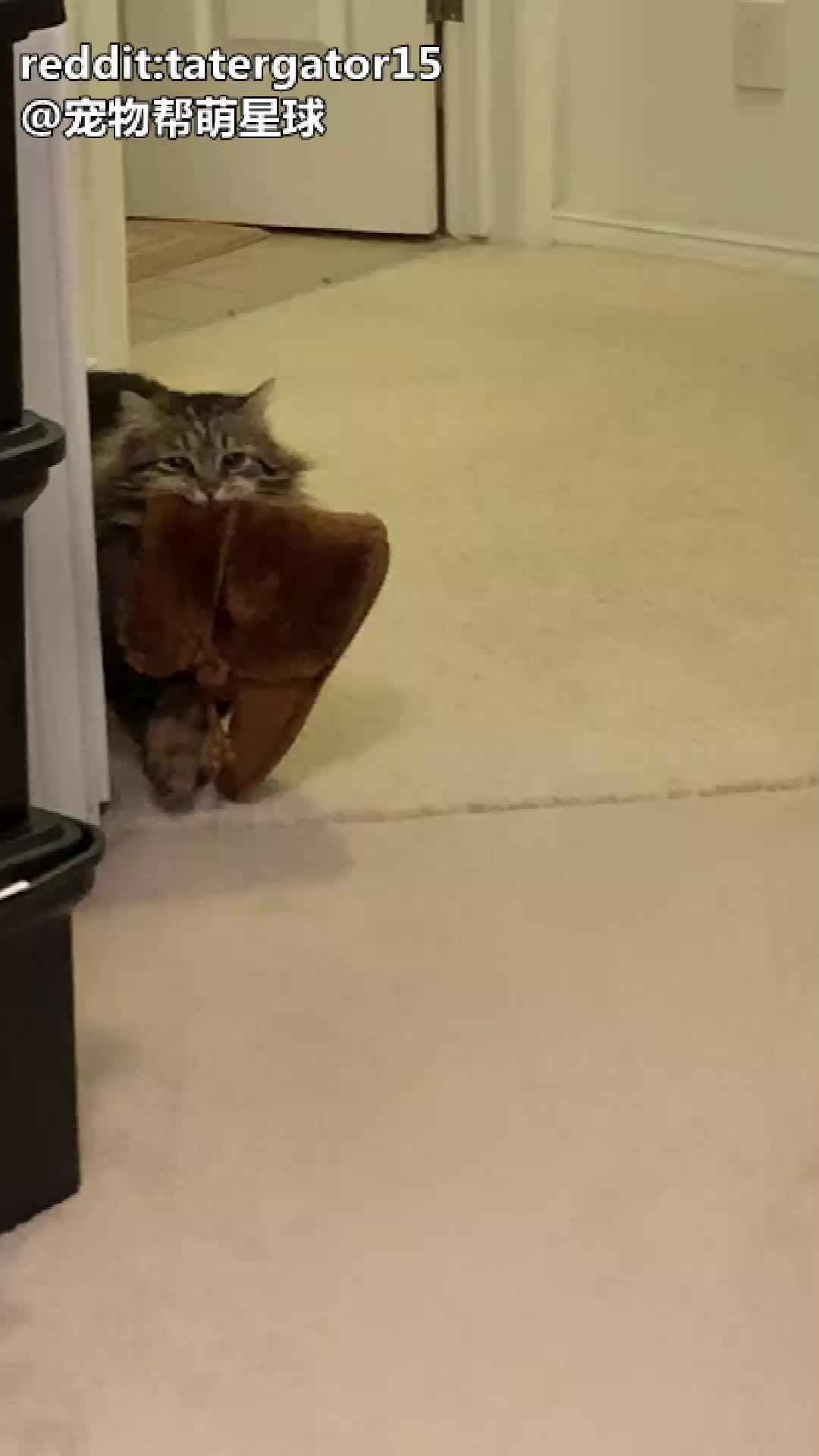 妈妈说,她领养的小猫LuLu每天早上都会把鞋拿过来给她