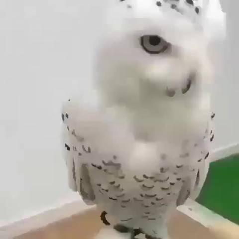 知道猫头鹰虚胖,但这也太虚了吧