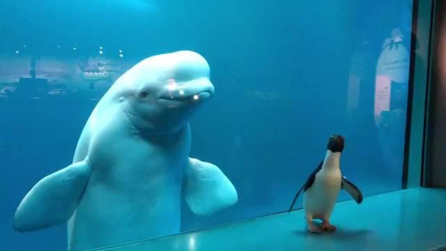 芝加哥谢德水族馆目前休馆中,可爱的小企鹅到处闲逛