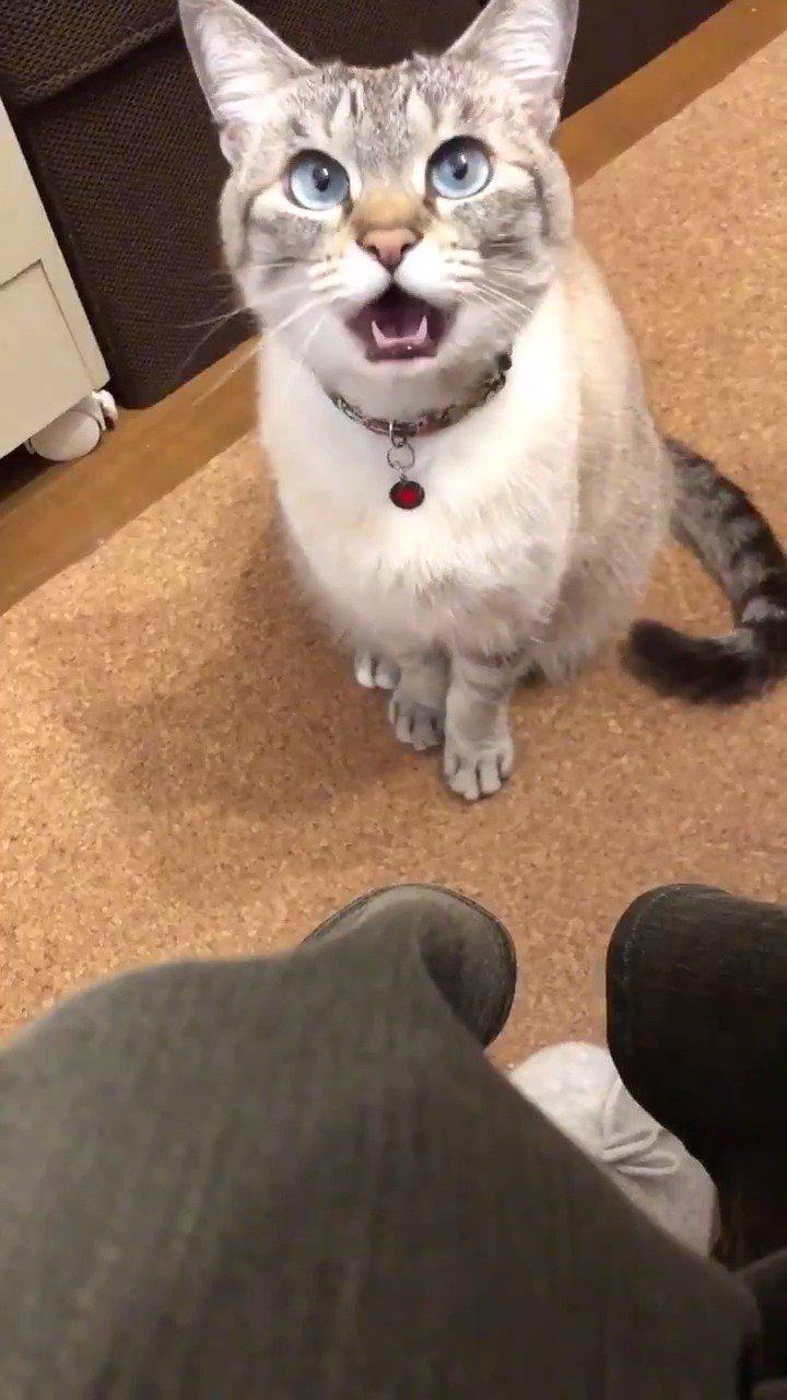 打哈欠也太可爱了吧,我融化了 这猫也太好看了