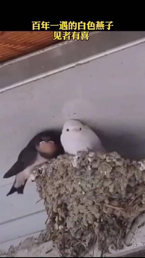 百年一遇的白色燕子,你见过没?