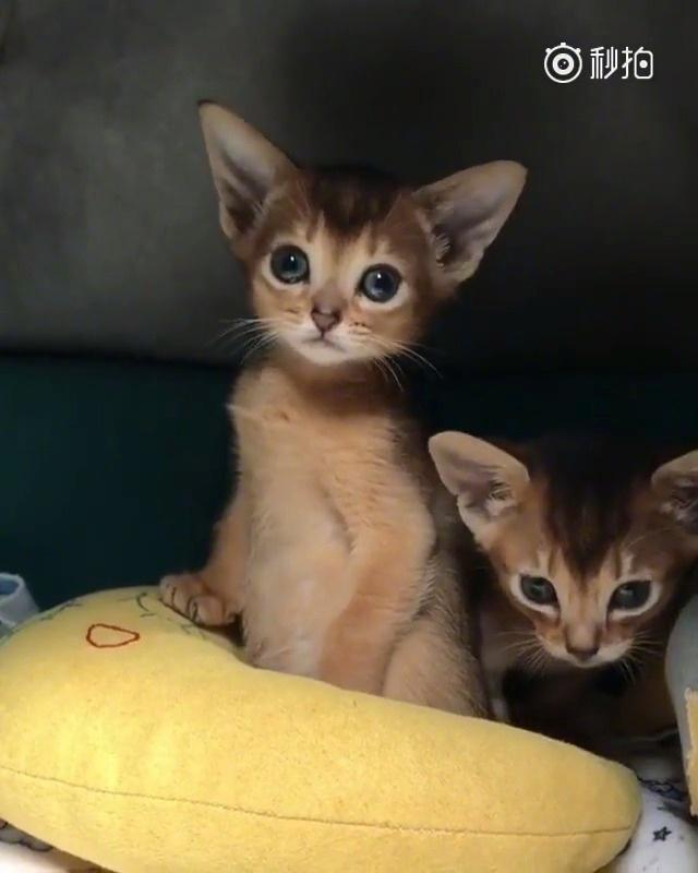 耳朵像精灵一样的阿比西尼亚猫,平时软萌乖巧