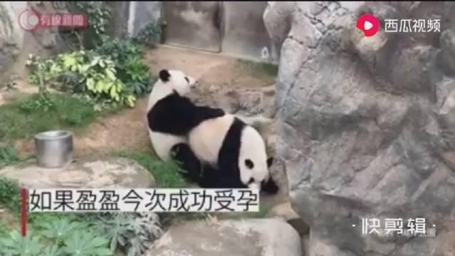 海洋公园大熊猫9年来首次自然交配成功……