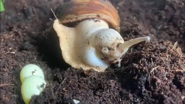 原来蜗牛是这么下蛋的 涨知识