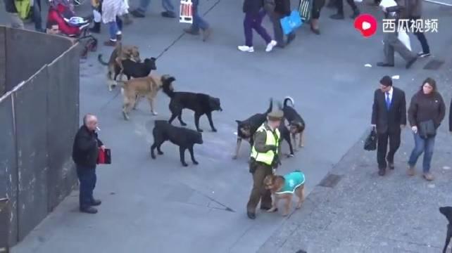 国外警犬被一群流浪狗挑衅,惹不起躲得起