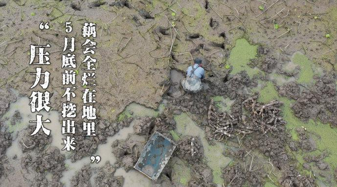 武汉解封:一支湖北莲藕的破土重生 停工期影响了一半东南亚人吃藕