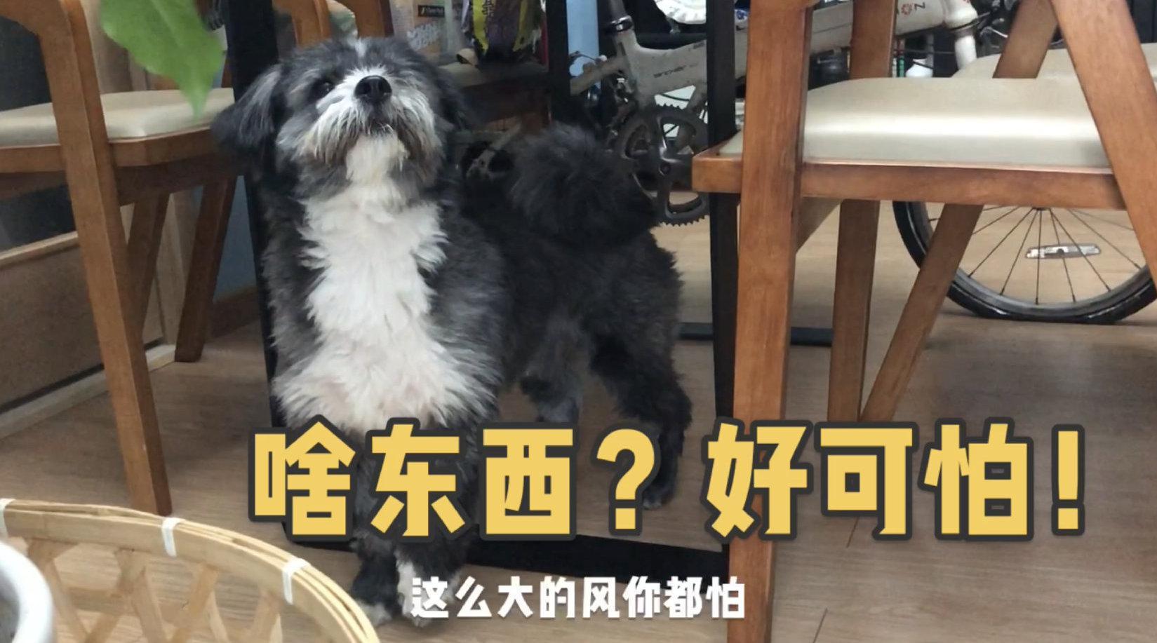 4月10日武汉大风大雨,狗子却急🉐 想要出门撒欢,各种不开心……