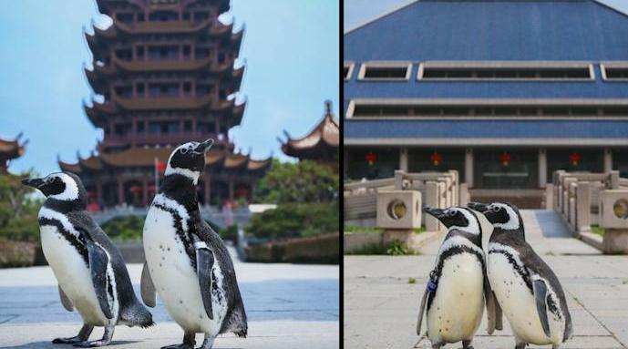 企鹅上街打卡武汉地标:两只小企鹅打卡黄鹤楼……