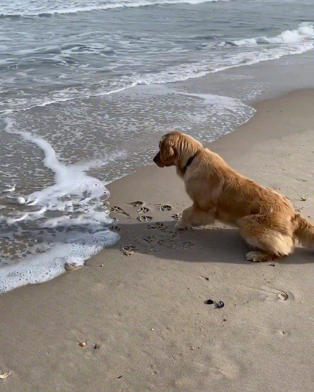 太可爱了!金毛虽然怕海浪,但是为了自己心爱的球……