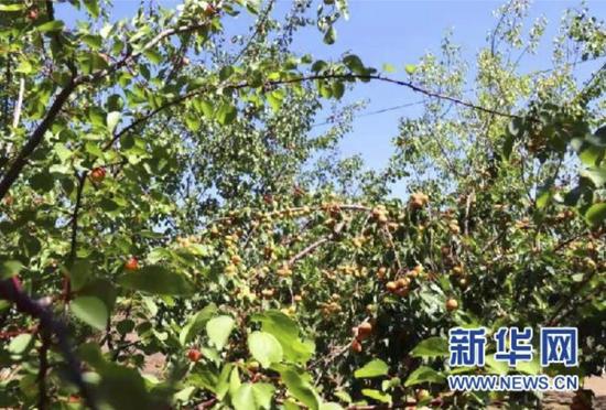 """宁夏原州区:庭院经济种出""""致富树"""""""