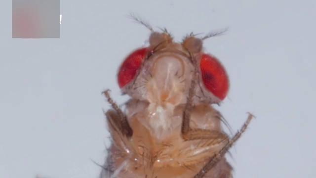 揭秘真菌是如何让果蝇变成僵尸的?从行为古怪到孢子破皮而出!