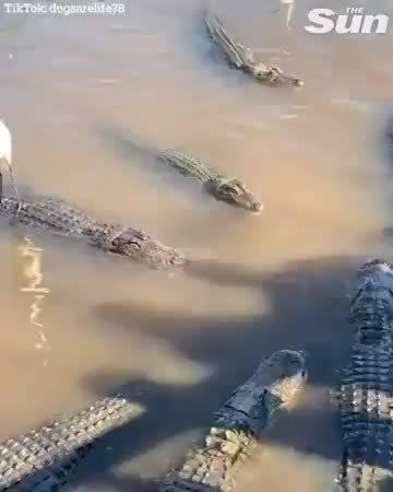 Heron gets an alligator Uber 「一只苍鹭打了个鳄鱼优步」