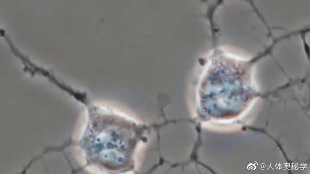 显微镜下的神经细胞,通过突触交流!