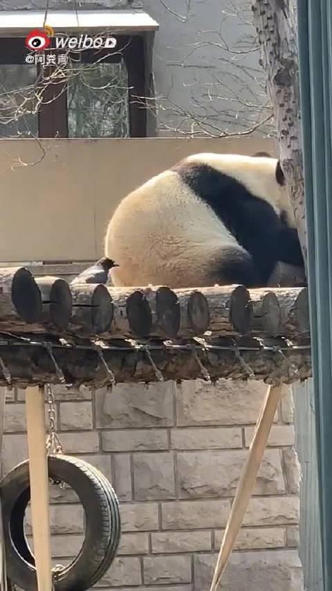 乌鸦薅熊猫毛被挥爪赶走 网友:这不犯法吗? 4月28日……
