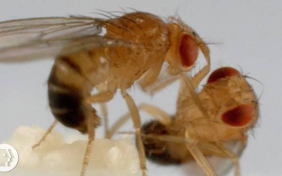 果蝇是人类大脑研究的无名英雄,贡献很大呀!