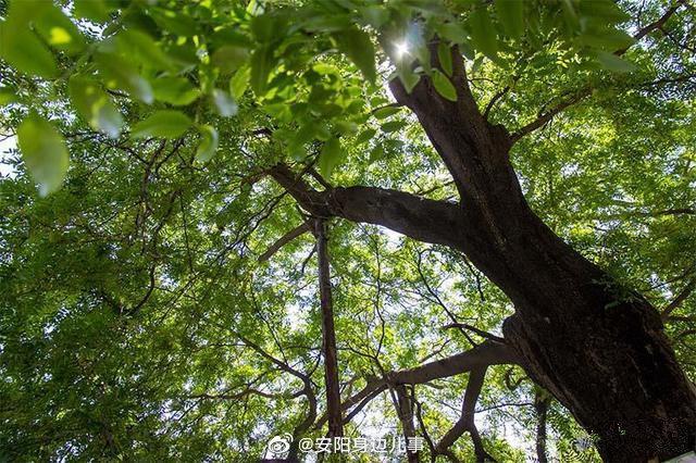 河南安阳市:一棵被列为一级保护的千年古树