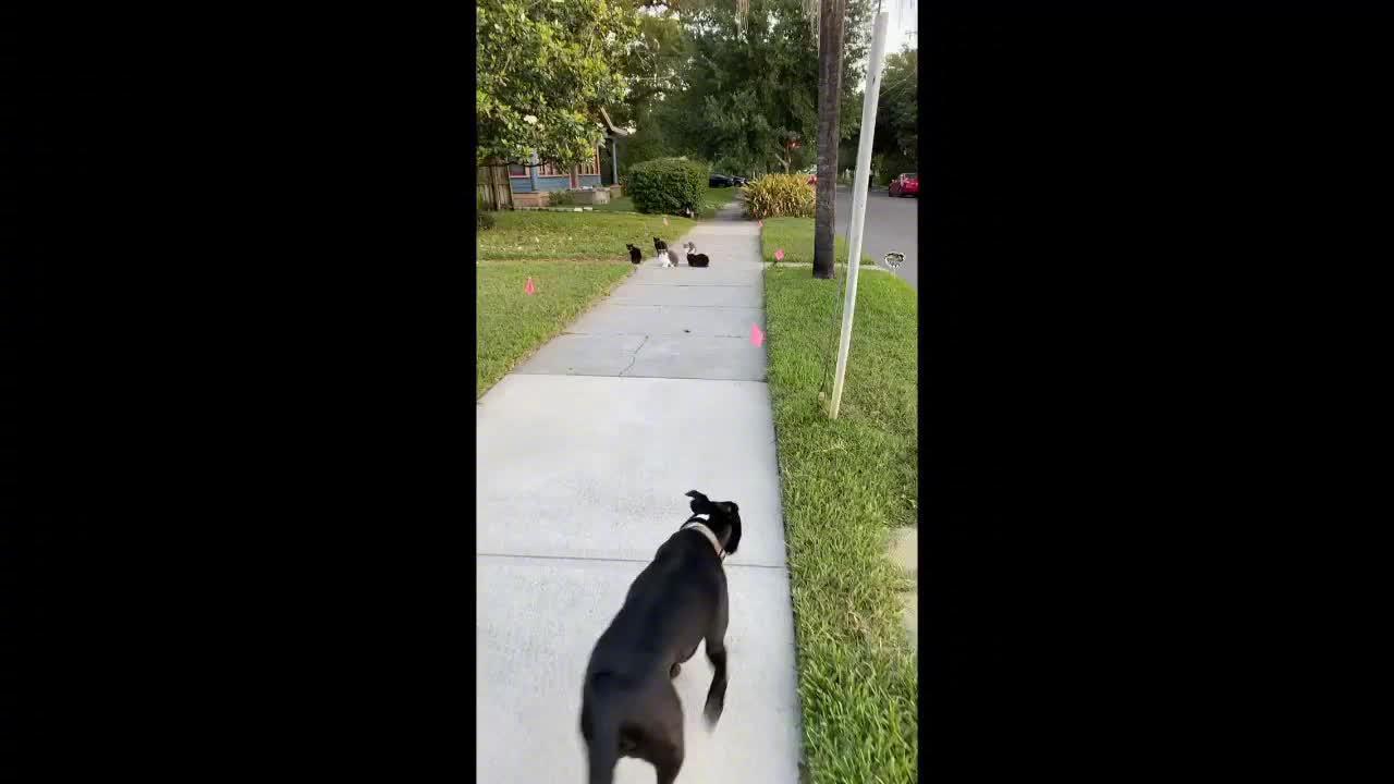 5月7日,美国佛罗里达州坦帕市,主人带着狗子遛弯……