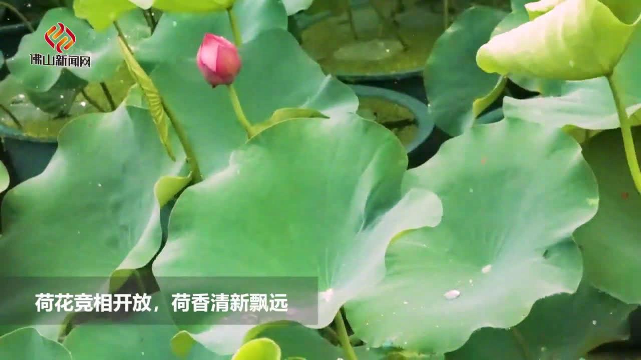 2000盆荷花初夏在佛山桂城盛放