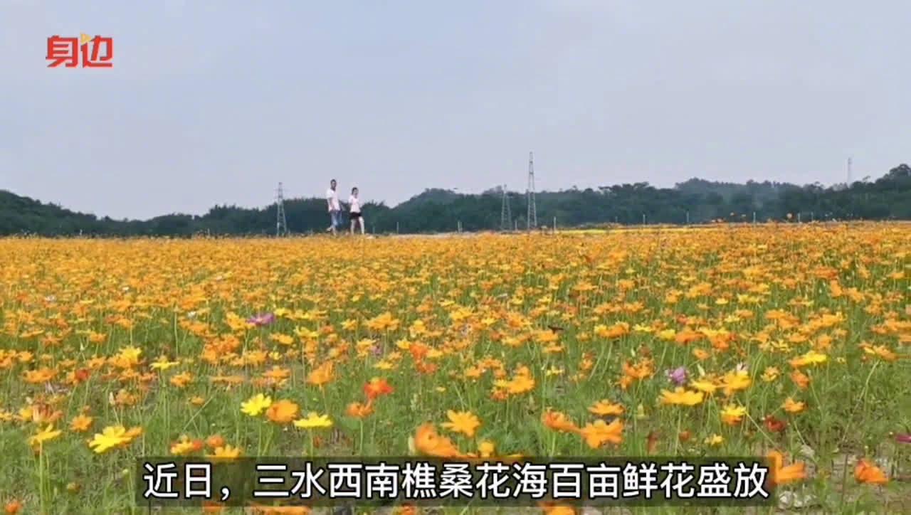 三水樵桑花海百亩硫华菊、百日菊盛放